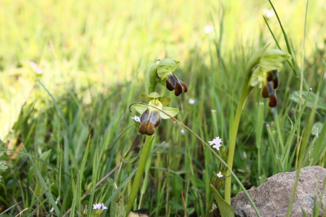 A wild Bee orchid (Ophrys fusca group) found in the Nebrodi National Park, Sicily.