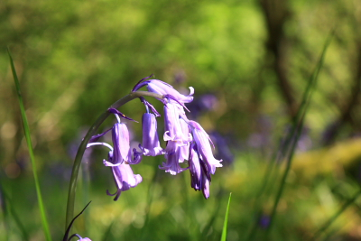 Bluebells in Clough Wood, Winster, Derbyshire
