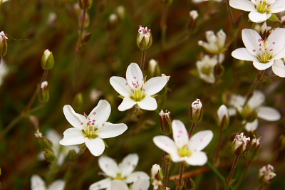 The tiny white flowers of Spring Sandwort - known locally as Leadwort
