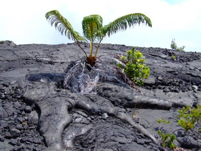 Hapu'u tree ferns are amongst the first plants to recolonise fresh lava flows