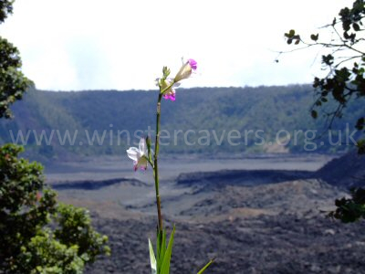 A solitary bamboo orchid beckons the viewer to the Kilauea Iki caldera beyond