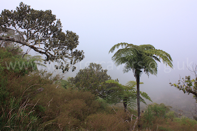 Rainforest and cloud on the descent from the Col des Boeufs towards La Nouvelle, Ile de la Reunion